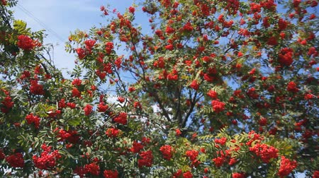 sorbus : red berries of mountain ash and green branches in summer. Rowan tree.