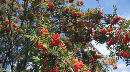 wrzos : Rowan in summer against the blue sky. Large red berries