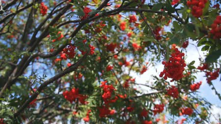 sorbus : A bunch of the rowan berries. the frame goes into blur Stock Footage