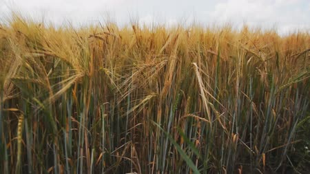 tahıllar : a field of wheat with golden spikelets and green stems Stok Video