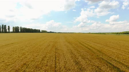 field of ripened wheat. shooting from a quadrocopter