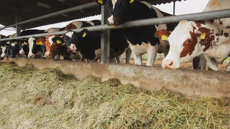 udder : Dairy cows in the stable. Cows chew