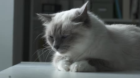 amado : Cute birman cat lying on a table at home, he is grooming and licking his fur