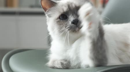 vitaliteit : Cute birman can lie down and play with a string, he is trying to catch it with his paws