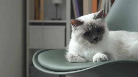 улов : Cute soft cat lying on a chair at home with a string, he is trying to catch it with his paws