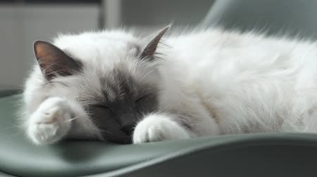 pussy : Cute fluffy cat lying down on a chair at home and sleeping with eyes closed, pets and lifestyle concept Stock Footage