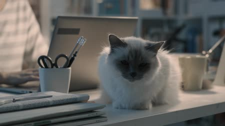comfortable : Beautiful birman cat sitting at a desk at home Stock Footage