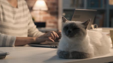 konfor : Beautiful birman cat sitting at a desk at home Stok Video