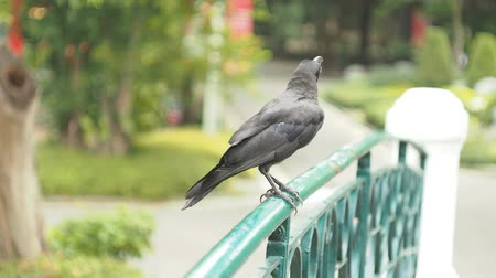 corvo : Crow Perching On Railing