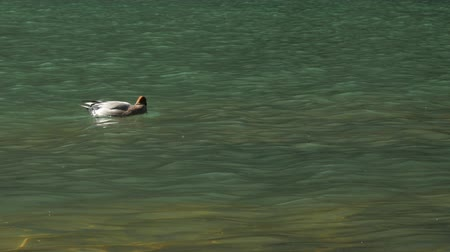 patinho : Duck swimming in river.