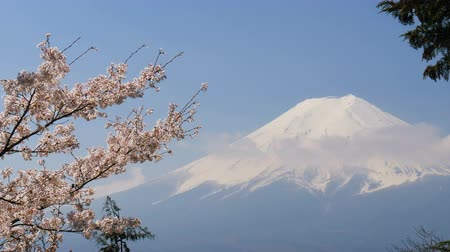 fuji : Mt. Fuji with cherry blossom.