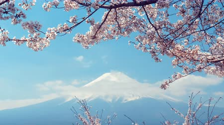 marcha : Sakura Flowers with Fuji Mountain on blue sky.