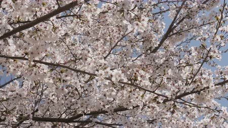 beautiful flowers : Japanese cherry blossom in the wind.