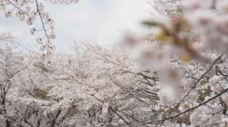 marcha : Somei yoshino sakura at park in spring season.