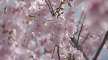 kiraz : Close up japanese sakura blooming in the wind slow motion. Stok Video