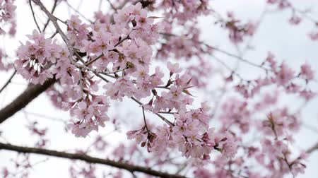 kiraz : Japanese cherry blossom flowers in wind. Stok Video