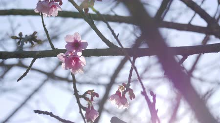 marcha : Spring season with pink cherry blossom at park. Vídeos