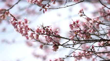 kiraz : Sakura flowers in spring. Stok Video