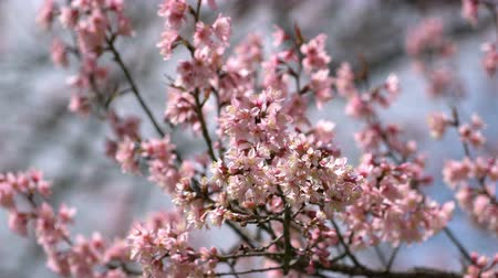 kiraz : Pink flowers blossom in the wind. Stok Video
