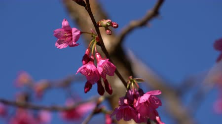 marcha : Pink flowers on branch in the wind.