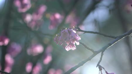 nisan : Pink cherry blossom tree at park. Stok Video