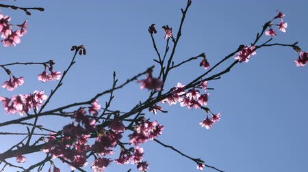 kiraz : Pink flowers tree with blue sky. Stok Video