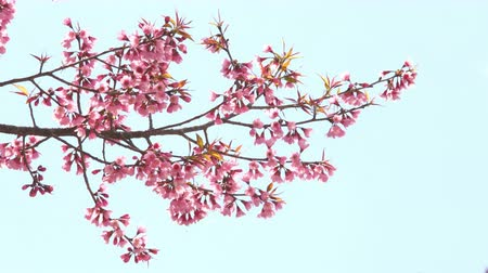 kiraz : Cherry blossom branch on blue sky.