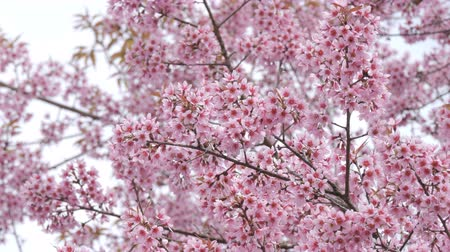 kiraz : Spring season with beautiful pink flowers blossoming tree branch
