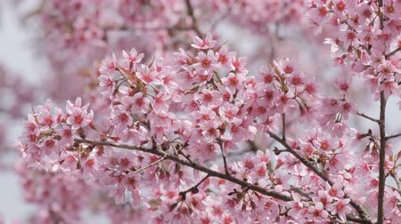 kiraz : Sakura tree branch with pink flower petals in the park. Stok Video