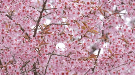 kiraz : Pink Sakura flower bloom in spring season.