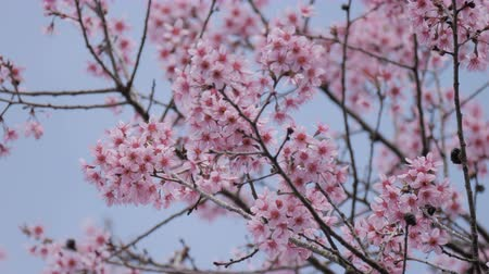 marcha : Pink cherry tree on blue sky