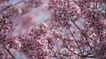 kiraz : Pink flowers tree in spring.