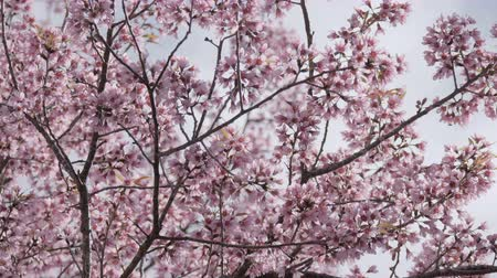 nisan : Cherry tree in spring.