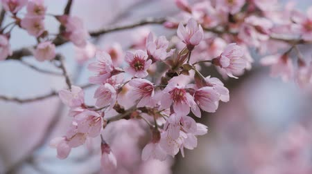 kiraz : Close up pink flowers blossoming Stok Video