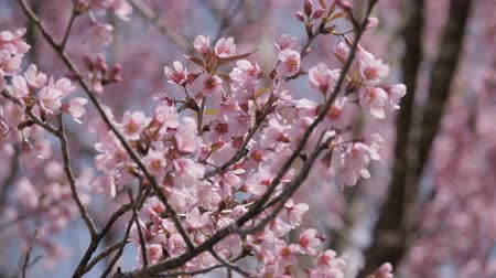 kiraz : Pink cherry flowers blossoming at park