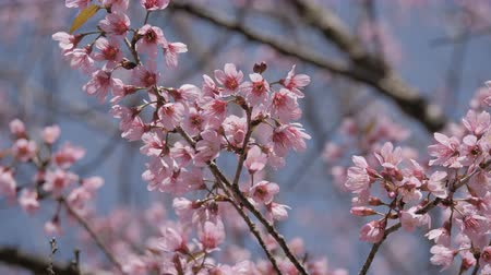 kiraz : Pink flowers blooming on tree