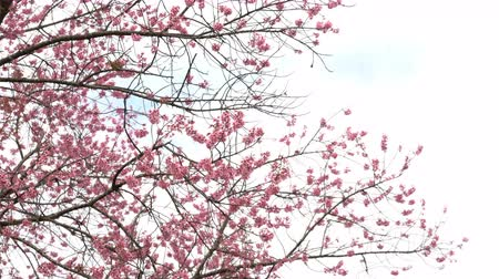 kiraz : Pink flowers blossom on the tree. Stok Video
