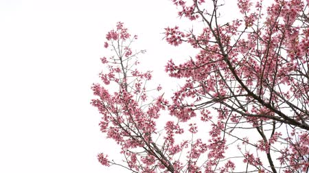 kiraz : Cherry flowers on tree with white background. Stok Video