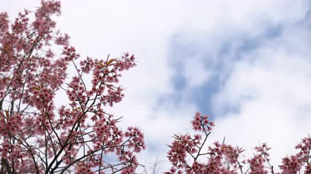 kiraz : Pink cherry blossom flowers on blue sky and clouds with space for your text.