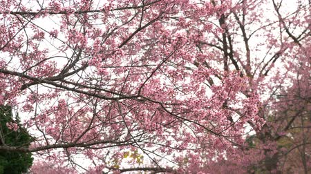 kiraz : Pink flowers blossoms on the branches. Stok Video
