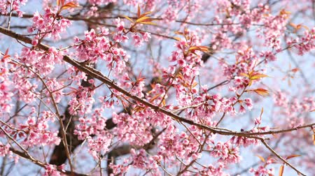 nisan : Pink Sakura flowers blossoming. Stok Video