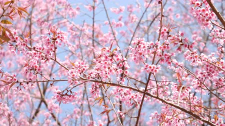 cereja : Sakura cherry blossom on blue sky.