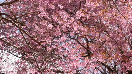 kiraz : Pink Sakura flowers tree are blossoming. Stok Video