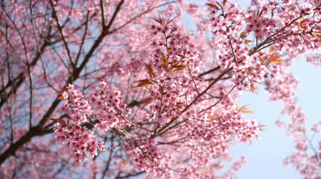 kiraz : Springtime with pink flowers tree.