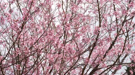 kiraz : Cherry blossom in blooming at park.