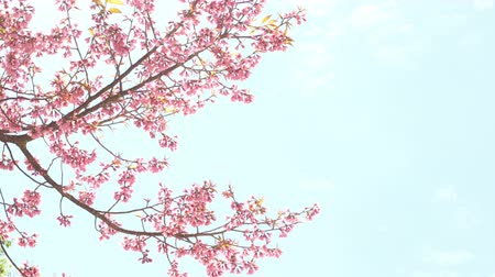 kiraz : Spring with pink cherry blossom on blue sky