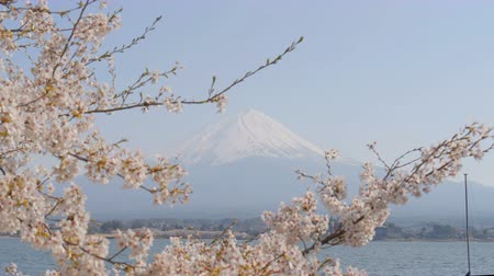 kiraz : Sakura with Mt. Fuji at Kawaguchiko lake Stok Video