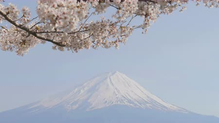 kiraz : Cherry blossom in the wind with Fuji mountain.