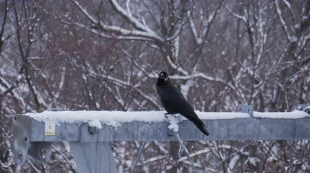 ладья : Crow bird perching on pole in winter season.