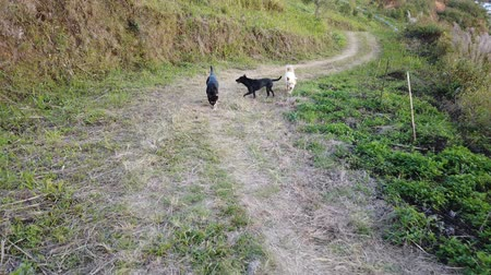 cachorrinho : Dogs walking on mountain Stock Footage
